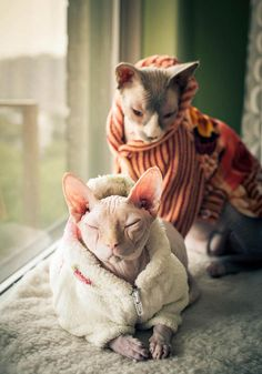 Sphynx cats in sweaters--all warm and toasty...