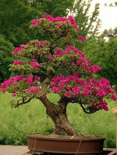 The upright styles in bonsai are one of the most popular and easy styles for beginners. Learn all about the two main upright styles in bonsai growing. Bonsai Soil, Bonsai Garden, Garden Trees, Trees To Plant, Bougainvillea Bonsai, Flowering Bonsai Tree, Bonsai Tree Types, Ikebana, Plantas Bonsai