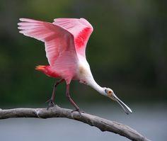 """@jharris_spoon1″ by julieanneharris | Colorful Birds #Photography Contest Winners - ViewBug.com"