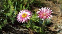 Pink Everlastings Kwazulu Natal, Wildflowers, Wildlife, Plants, Pink, Plant, Pink Hair, Roses, Wild Flowers