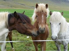 Love Icelandic ponies!