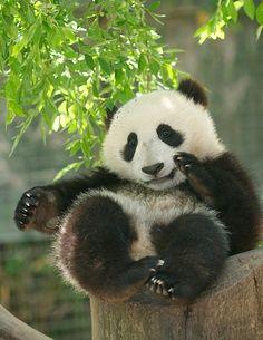 Los panda son ositos que brindan paz al Planeta Tierra