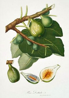 Giorgio Gallesio  Fig 1817-39