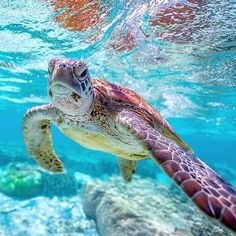 The Leatherback sea turtle has been recorded swimming as fast as 22 mph km/h) according to San Diego Zoo Tag your friends who would love this For all Turtle lovers Ocean Turtle, Sea Turtle Art, Baby Sea Turtles, Turtle Love, Sea Turtle Wallpaper, Sea Turtle Pictures, Okinawa, Turtle Habitat, Underwater Photos