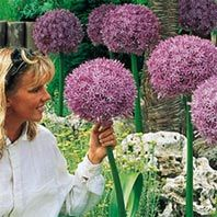 Allium 'Beau Regard' 10 Bulbs $73