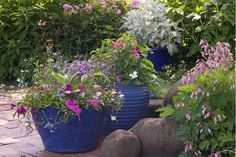 Container gardening in the shade can be a bit tricky. This list of blue plants for containers in the shade will have the pots on your patio, walkway or porch looking beautiful all summer long. Potted Plants For Shade, Potted Plants Patio, Shade Garden Plants, Blue Plants, Tall Plants, Water Plants, Garden Pots, Flowering Plants, Plants Indoor