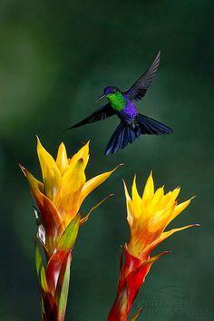 A male violet-crowned woodnymph hummingbird pollinates bromeliad flowers in Costa Rica (Gregory Basco) Pretty Birds, Beautiful Birds, Animals Beautiful, Cute Animals, Beautiful Things, Small Birds, Little Birds, Colorful Birds, Colorful Animals