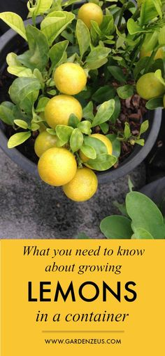 What you need to know about growing lemons in a container #citrus #lemons #container