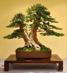 Bonsai doble tronco