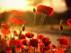 Poppy Flower Images - All Wallpapers New