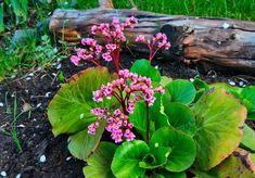 bergenie - Hledat Googlem Colorful Garden, Herb Garden, Cabbage, Herbs, Vegetables, Plants, Gardening, Google, Compost