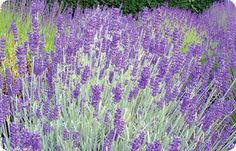 Richard Gray - A truly exceptional lavender plant with cylindrical purple flowers and compact habit. A great foil with shorter angustifolias. Height 20in