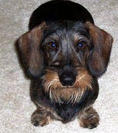 The Kid is my dachshund Gertie's papa
