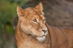 Lion  by PHOTOPHH.1