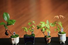 チョコレート盆々-豆盆栽