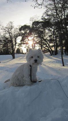 A Westie in Winter