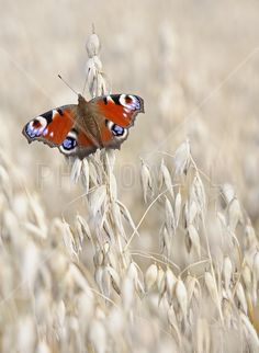 Peacock Butterfly on Oats - Fotobehang & Behang - Photowall
