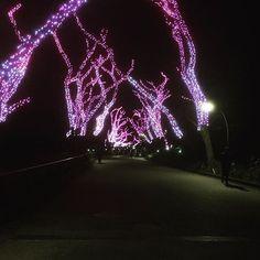 【5s_h1】さんのInstagramをピンしています。 《青の洞窟に続き行ってきた✨ 最終日だったから人少なくていい感じだった #上野冬桜 #last #day #pink #trees #ilumination #night#cherryblossoms #beautiful》