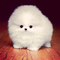 Awww a puff ball. It is a baby pomeranian. Cute Fluffy Dogs, Cute Small Dogs, Super Cute Puppies, Baby Animals Super Cute, Cute Baby Dogs, Cute Little Puppies, Fluffy Animals, Cute Dogs And Puppies, Cute Little Animals