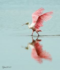 .Pink wings reflected