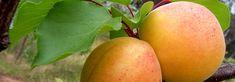 Pálenica DARGOV - DESTILA-M spol. s r.o. Mango, Fruit, Food, Manga, Essen, Meals, Yemek, Eten
