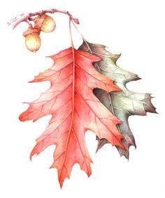 red oak botanical drawing - Google Search