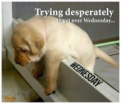 It seems puppy stuck in between #midweek crisis. Let's help him get over #Wednesday here.