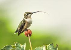 """Ruby-throated Hummingbird on Dogwood Tree."" Photo by Hazel Erikson. birdsandblooms.com"