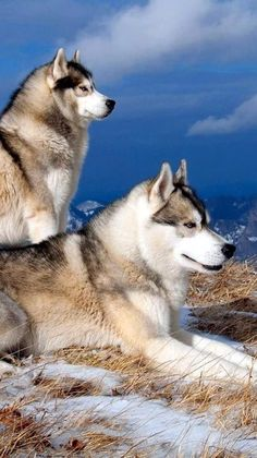 """All dogs are smart, of course, especially yours—but some dog breeds are likely smarter than others. When psychologist Stanley Coren wrote """"The Intelligence of Dogs"""" 25 years ago, he judged various breeds by their ability Pet Wolf, Wolf Husky, Husky Dog, Wolf Dogs, Malamute Husky, Alaskan Malamute, Akita, White Husky, Husky Cross"""