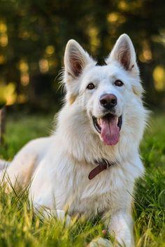 Happy face | White Swiss Shepherd
