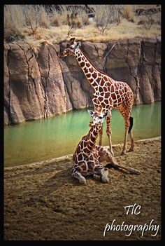 Couple of giraffes by TlCphotography730 on DeviantArt