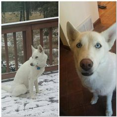 German Shepherd Lost & Found Liked · Yesterday ·    SPANGLE, WA -- LOST DOG  MISSING!!!! I know this is a shepherd site, but my husky gets mistaken for shepherd. Name: Luna Bell Benson Breed: Siberian Husky Color: White Weight: 35lbs Birthday: 05/13/13 County: Spokane Zip Code: 99031 Color: Blue Small body frame Time: 2100 hrs Date: 30 December 14 Microchipped: Yes