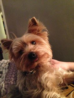Yorkie sticking his tongue out <3
