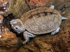 diamondback terrapin - not exactly footless but.... our next family member? I hope