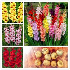 [Visit to Buy] True gladiolus bulbs (not gladiolus seed) gladiolus flower bulbs high quality bonsai potted plant easy to grow for garden-2 bulb #Advertisement