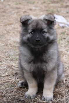 Keeshond puppy. Yes please
