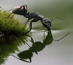 Ant drinking, macro photo