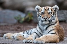 Tiger  by peter.h.hansen1