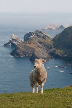 Shetland Island Sheep
