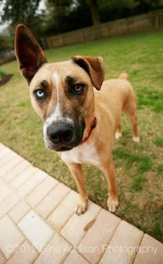 Tex - an american staffordshire terrier, siberian husky mix Siberian Husky Mix, Different Colored Eyes, Big Puppies, Cute Dog Photos, Puppy Love, Cute Dogs, Labrador Retriever, Beast, Dog Cat
