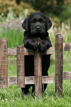 Adorable black lab puppy.
