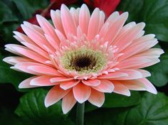 Types Of Flowers Updates: gerbera flower Gerbera Daisy Seeds, Pink Gerbera, Gerber Daisies, Types Of Flowers, Love Flowers, Fresh Flowers, Beautiful Flowers, Daisy Flower Pictures, Bloom Baby