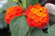 Lovely lantana. Reds, oranges, and yellows are so gorgeous.
