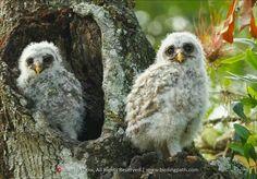 BARRED OWLETTS