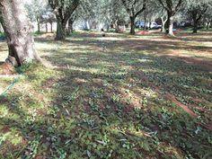 Raccontare un paese: raccolta olive rimandata