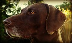 Beautiful, lucky to have such a photogenic dog #gsp #germanpointer