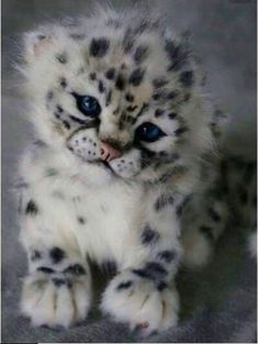 Un ourson léopard des neiges: . - A Snow Leopard Cub.: … A Snow Leopard Cub . Baby Animals Pictures, Cute Animal Pictures, Animals And Pets, Fluffy Animals, Baby Wild Animals, Small Animals, Animals Images, Baby Pictures, Funny Pictures