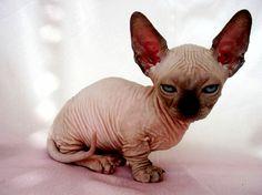 cat Hairless munchkin cat http://ift.tt/2ocK5Cb