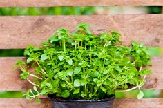 15 Benefits of Basil