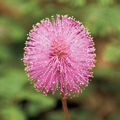 Powderpuffs (mimosa strigillosa)--fast growing ground cover, drought resistant!! likes sun!!!